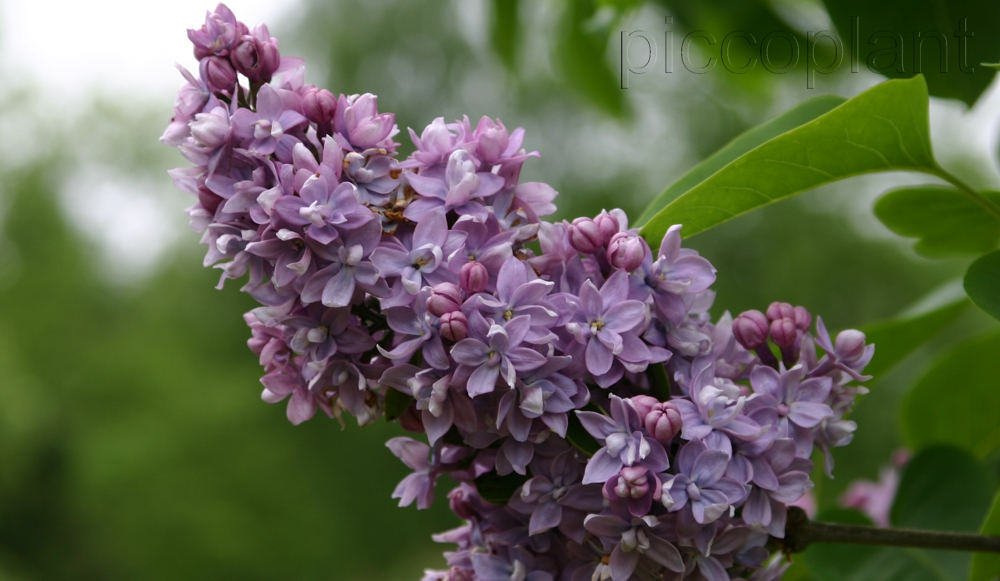 Syringa vulgaris 'Abel Carriere'