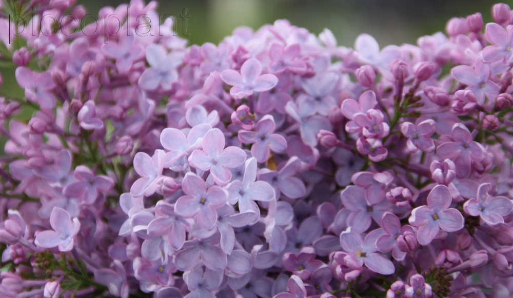 Syringa vulgaris 'Blue Skies'