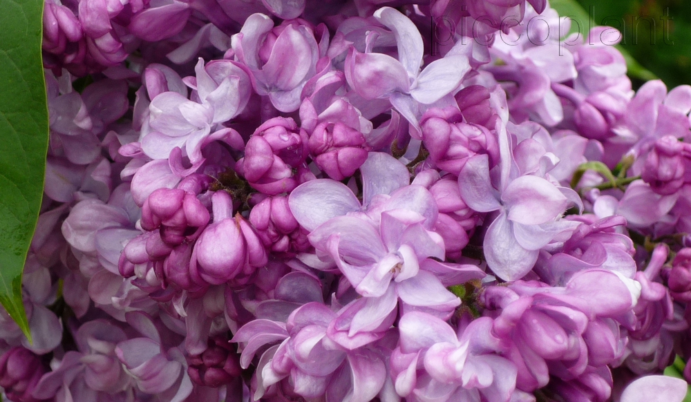 Syringa vulgaris 'General Pershing'