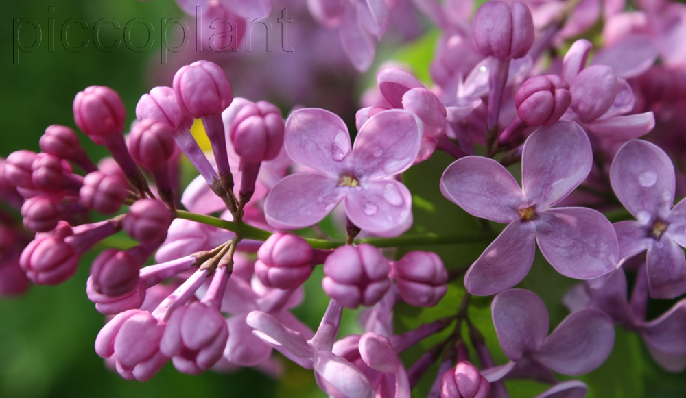 Syringa vulgaris 'Virginia Becker'