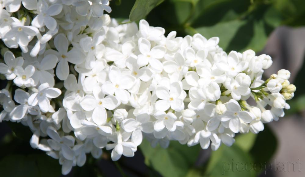 Syringa vulgaris 'Mme Felix'