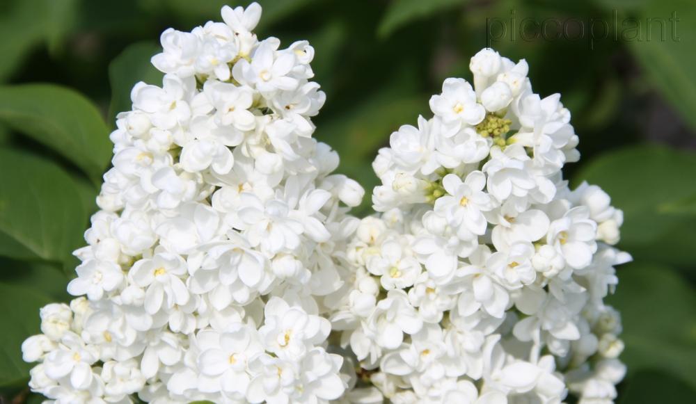 Syringa vulgaris 'St. Margaret'