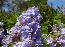 Wedgewood_Blue_3.JPG